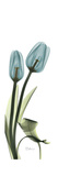 Blue Tulips Prints by Albert Koetsier