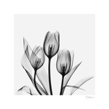 Tulip Gray 2 Prints by Albert Koetsier