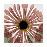 Chrysanthemum Marsala Premium Giclee Print by Albert Koetsier