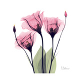 Pink Gentian Prints by Albert Koetsier