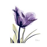 Grape Tulip Print by Albert Koetsier