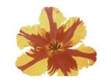 Hot Tulip Blossom Premium Giclee Print by Albert Koetsier
