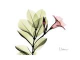 Pink Mandelilla Prints by Albert Koetsier
