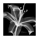 Xray Lily Giclée-Premiumdruck von Albert Koetsier
