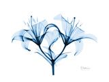 Indigo Starflame Lily Premium Giclee Print by Albert Koetsier