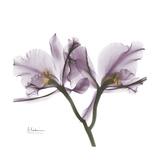 Orchid Lavender Premium Giclee Print by Albert Koetsier