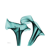 Calla Lilies Premium Giclee Print by Albert Koetsier