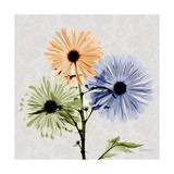 Multi Chrysanthemum Premium Giclee Print by Albert Koetsier