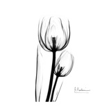 Soft Gray Tulips Prints by Albert Koetsier