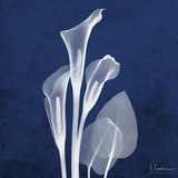 Three Indigo Calla Lilies Premium Giclee Print by Albert Koetsier