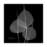 Xray Bo Tree Premium Giclee Print by Albert Koetsier
