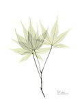 Japanese Maple Portrait Premium Giclee Print by Albert Koetsier