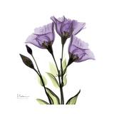 Purple Gentian Square Premium Giclee-trykk av Albert Koetsier