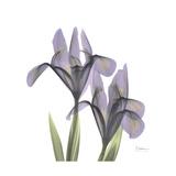 Lounging Lavender 1 Premium Giclee Print by Albert Koetsier