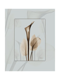 Calla Blue Brown 2 Prints by Albert Koetsier
