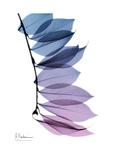 Camelia Leaf in Purp Premium Giclee Print by Albert Koetsier
