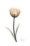 Solo Tulip Portrait Premium Giclee Print by Albert Koetsier