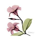 Pink Mandelila Premium Giclee Print by Albert Koetsier