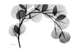 Eucalyptus Gray Giclee-tryk i høj kvalitet af Albert Koetsier
