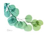 Eucalyptus Green Blue Giclee-tryk i høj kvalitet af Albert Koetsier
