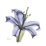 Lilac Lily Premium Giclee Print by Albert Koetsier