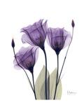 Purple Gentian Triplet Giclee-tryk i høj kvalitet af Albert Koetsier