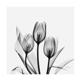 Tulips Greys 3 Posters by Albert Koetsier