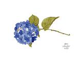 Hydrangea Print by Gina Maher