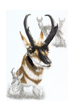Pronghorn Giclee Print by Barbara Keith