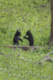 Black Bear Cubs (YNP) Photographic Print by  Galloimages Online