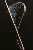 Close-Up Spider Web with Dew Drops Photographic Print by Gordon Semmens