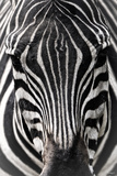 Zebra Photographic Print by Gordon Semmens