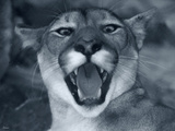 Cougar Photographic Print by Gordon Semmens