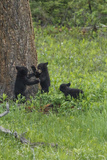 Black Bear Cubs Photographic Print by  Galloimages Online