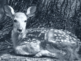 Fawn Photographic Print by Gordon Semmens