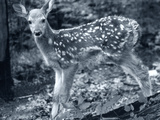 Fawn 2 Photographic Print by Gordon Semmens