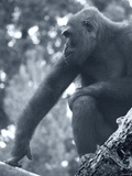 Gorilla 2 Photographic Print by Gordon Semmens