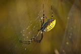 Spider, Web Photographic Print by Gordon Semmens