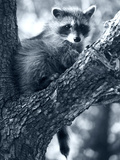 Raccoon Photographic Print by Gordon Semmens