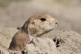 Prairie Dog Fotografisk tryk af Gordon Semmens