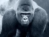 Gorilla Fotografisk trykk av Gordon Semmens