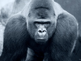 Gorilla Photographic Print by Gordon Semmens
