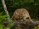 About to Pounce Photographic Print by  Galloimages Online