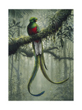 Resplendent Quetzal 2 Giclee Print by Harro Maass