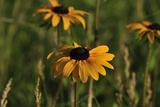 Wildflowers, Black-Eyed Susans Photographic Print by Gordon Semmens