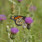 Butterfly, Thistle Flower Photographic Print by Gordon Semmens