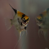 Angel Fish VII Photographic Print by Gordon Semmens