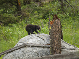 Bear Cub on Rock Photographic Print by  Galloimages Online