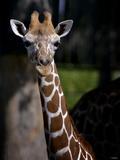 Giraffe Fotografisk tryk af Gordon Semmens