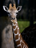 Giraffe Photographic Print by Gordon Semmens